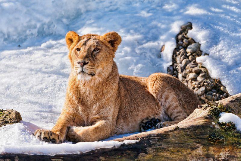leones-wallpapers-3
