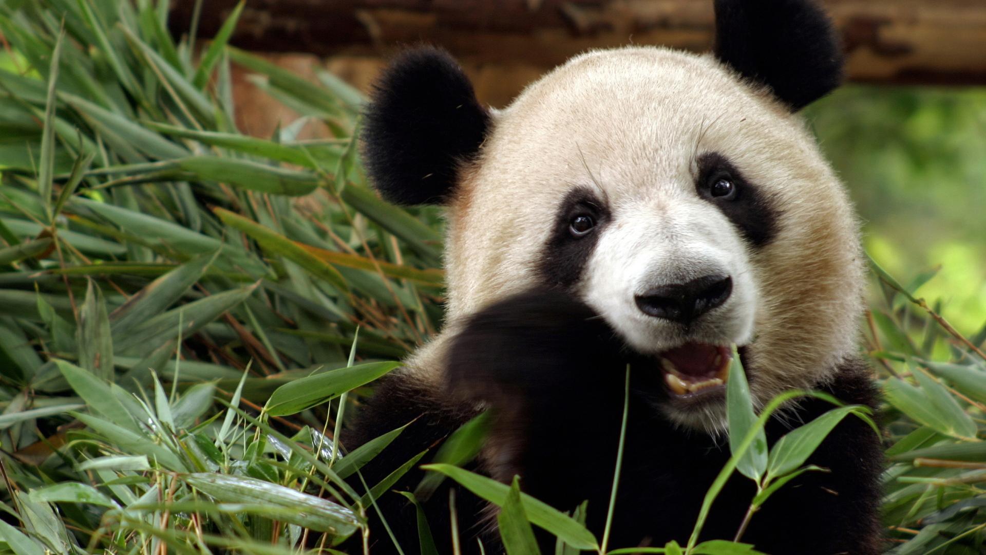 wars panda bear - photo #18