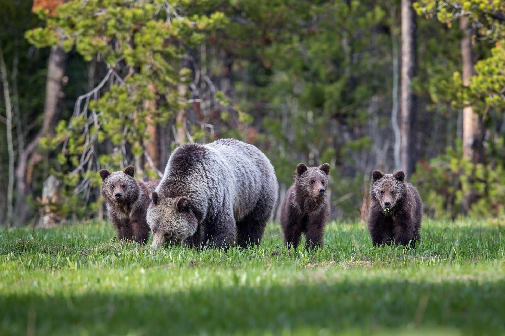 fotos de osos  im u00e1genes del oso pardo en la naturaleza
