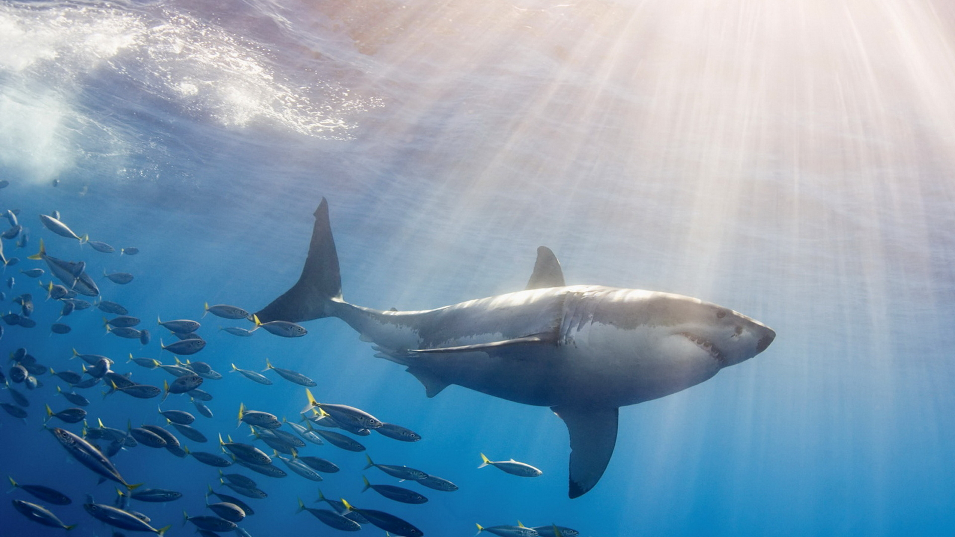 an introduction to the magnificent world of sharks However shark culling continues in both queensland and nsw via shark nets  and  of sharks, and since so many of these magnificent species are under threat ,.