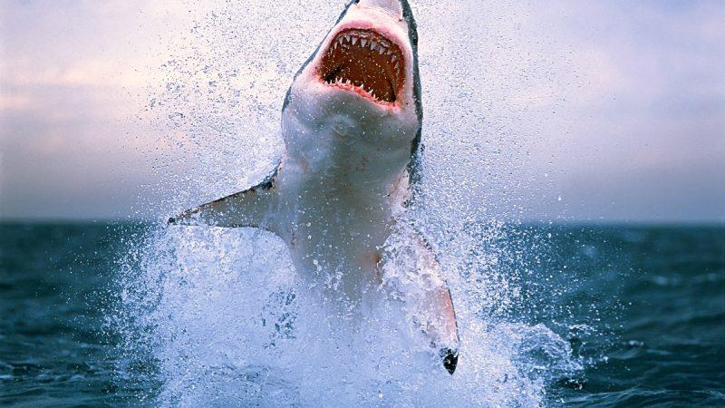 Tiburon saltando fuera del agua