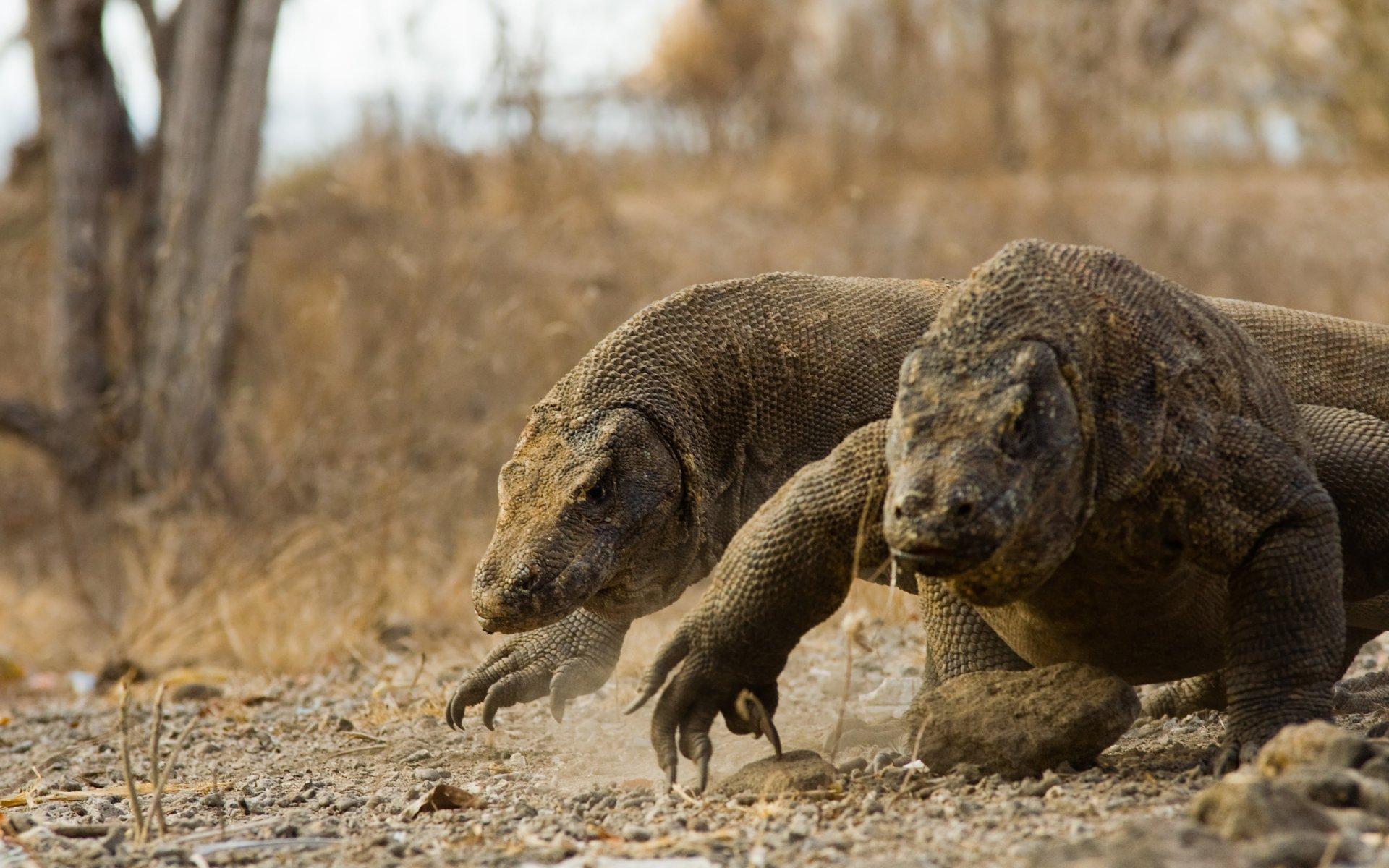 Fotos del Dragón de Komodo, Imágenes HD de un Dragón Real