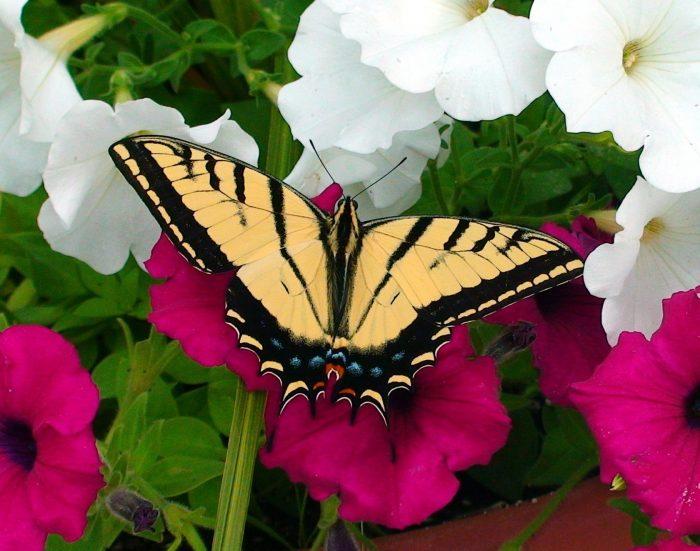 Fondos de Pantalla de Mariposas, Wallpapers HD, Mariposas