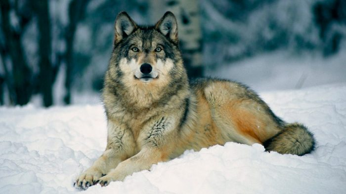 Fotos Preciosas De Lobos Salvajes